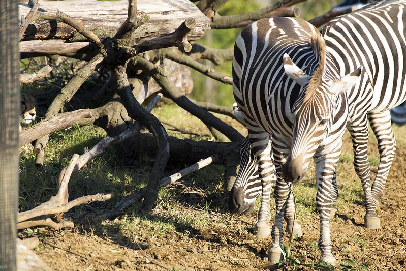 A cheetah watching zebra.