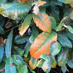 oranging leaves