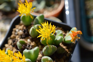DSC_1245 Conophytum cvs. 小菊の舞 コノフィツム