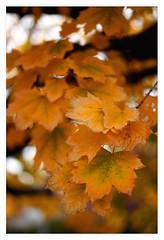 November autumn leaves