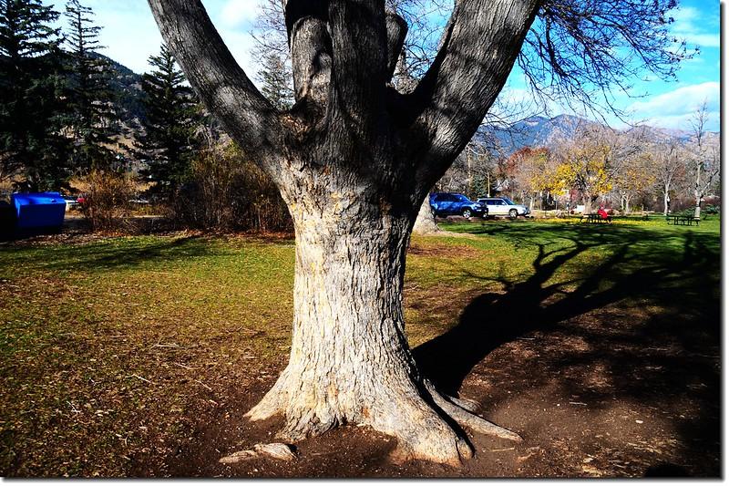 糖楓的樹幹 4