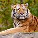 Amur Tiger by R.A. Killmer