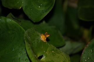 Tiny Yellow Frog