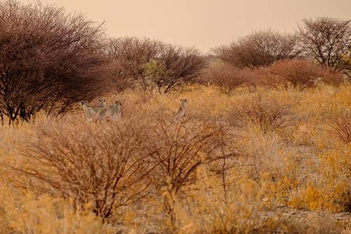 2016 africa august cheetah etosha etoshanationalpark intrepid namibia tour travel trip oshikotoregion na