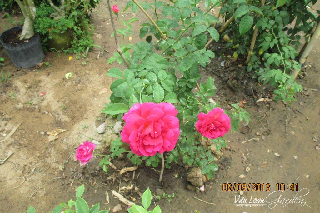 hong othello rose (3)-vuonhongvanloan.com