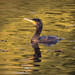 Cormorant on a golden pond by Maxwell Law Photography LRPS