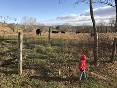 Madeleine looks at the cows at the Christmas tree farm