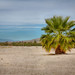 Palm Tree: Salton Sea by Photos By Clark