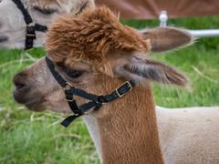 llama(0.0), camel(0.0), arabian camel(0.0), alpaca(1.0), animal(1.0), fauna(1.0), close-up(1.0), camel-like mammal(1.0), wildlife(1.0),
