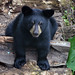 Small photo of American Black Bear Cub