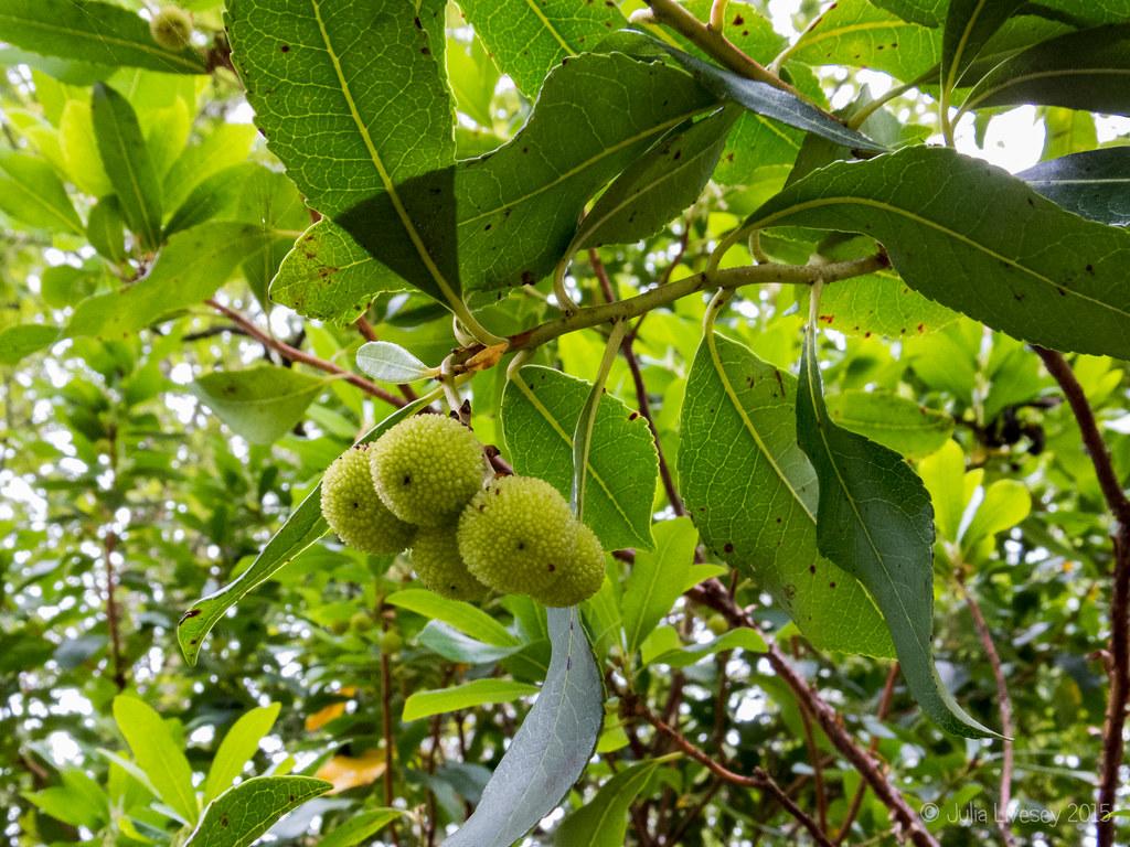 Strawberry Tree - Unripe fruits