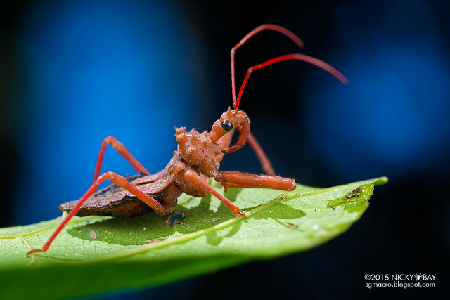 Assassin bug (Reduviidae) - DSC_3023