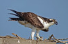 Osprey (Pandion haliaetus) by JFPescatore