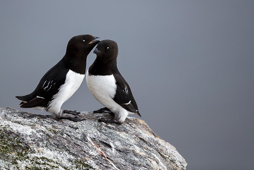 Little Auk (Alkekung)