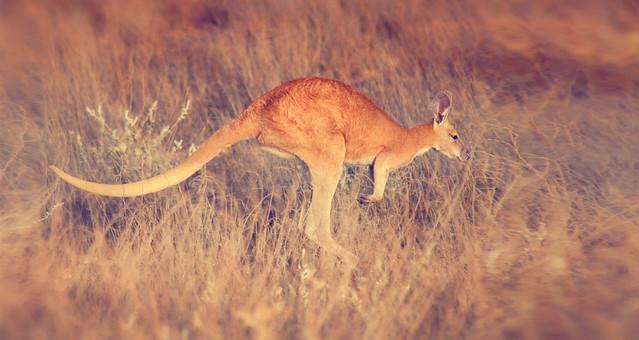 Red Kangaroo, Outback Western Australia