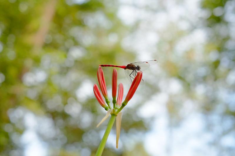 赤とんぼ red dragonfly