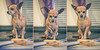 ChiChi, the Chihuahua, loves Cheddar Cheese by michael80e