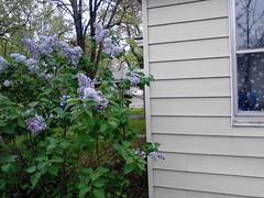 Lilacs_20150412
