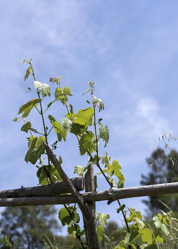 Tresminas vines