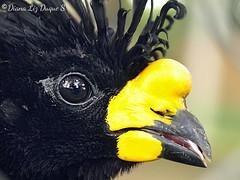 Paujil macho (Crax daubentoni)