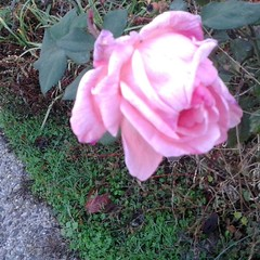 Frost on the ground my last rogue pink rose to share on this thanksgiving.