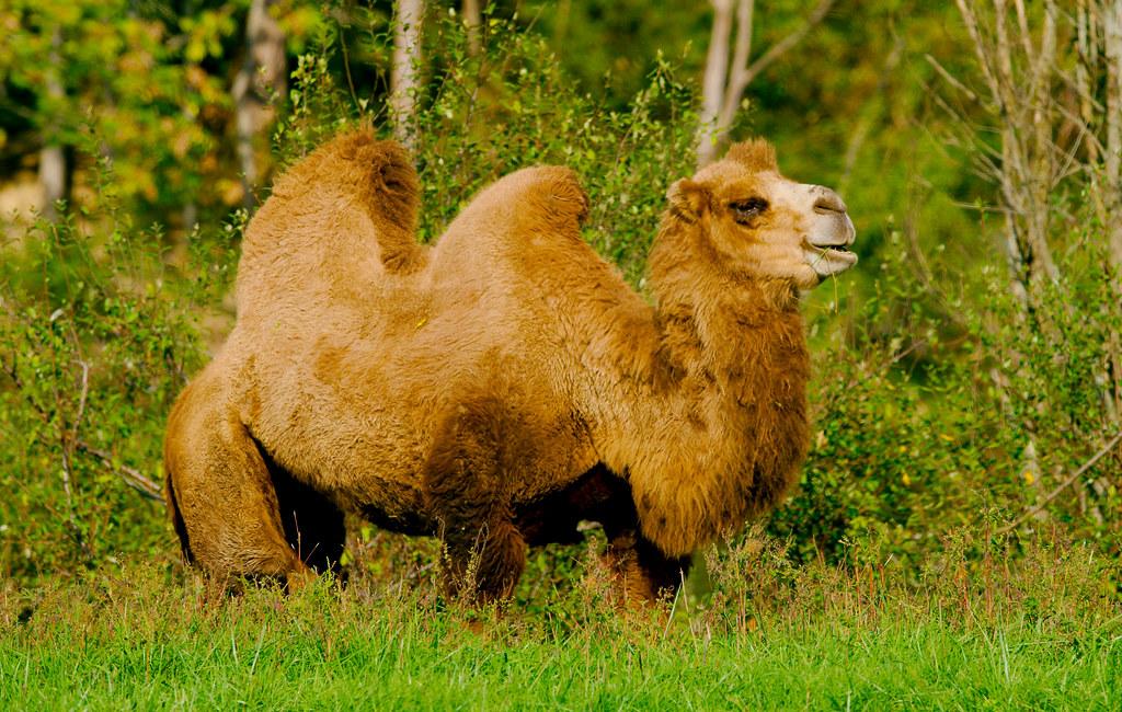 Bactrian Camel_7