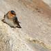 Len Medlock has added a photo to the pool:Cave SwallowNorth Hampton State Beach, N. Hampton, NHebird.org/ebird/nh/view/checklist?subID=S25846093