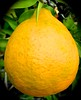 Meyer Lemon In A Flowerpot By My Kitchen Door <<>> Tart And Sweet