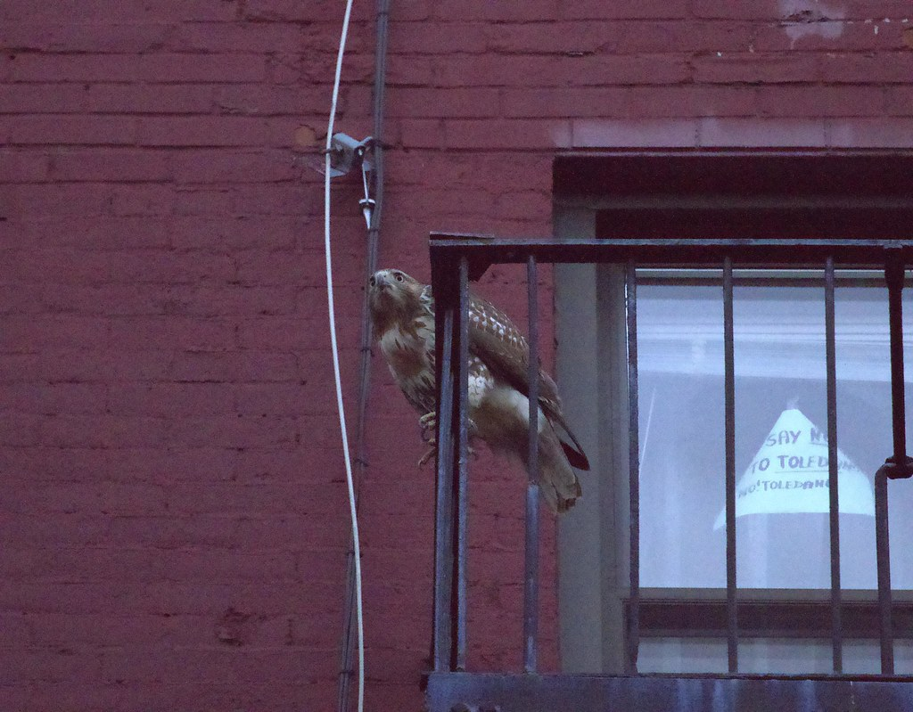 Juvie red-tail goes to roost
