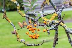 Berries and mossy branches