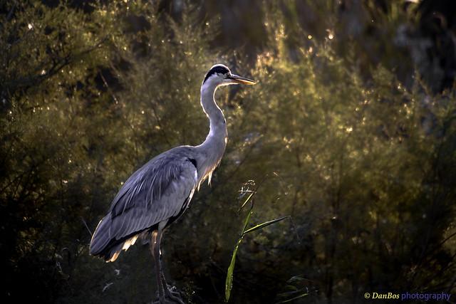Gray Heron against sun