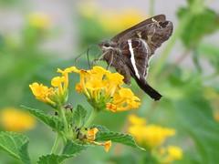 White-Striped Longtail 8-12-15, San Antonio Texas