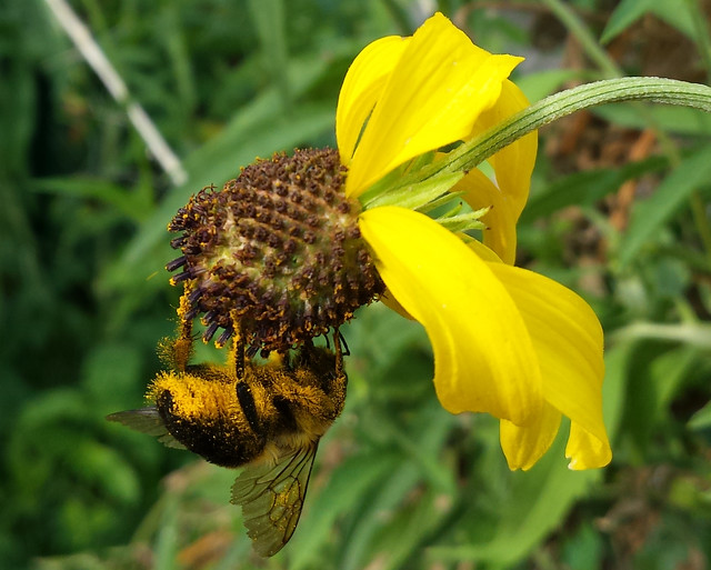 bumblebee hanging off the bottom of a yellow coneflower