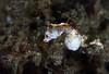 Pontohi Pygmy Seahorse by Randi Ang