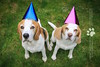 The Beagles | Dog Photography London and Bedfordshire