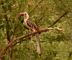 Yellow-billed Hornbill, Ethiopia