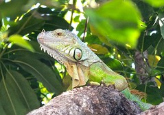 animal, green lizard, reptile, lizard, fauna, african chameleon, american chameleon, iguana, scaled reptile, chameleon, wildlife,