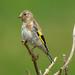 DSC_9663 Goldfinch by jefflack Wildlife&Nature
