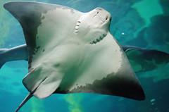 carcharhiniformes(0.0), requiem shark(0.0), tiger shark(0.0), animal(1.0), manta ray(1.0), fish(1.0), shark(1.0), wing(1.0), marine biology(1.0), skate(1.0), underwater(1.0),