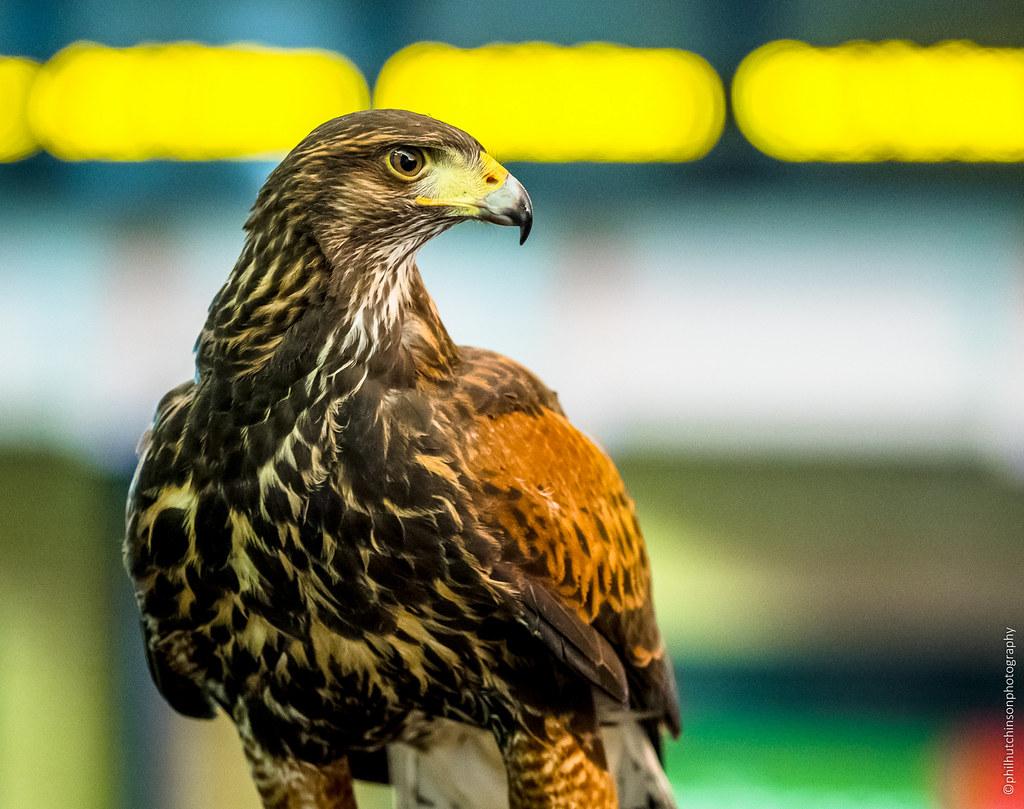 Kings Cross Harris Hawk Pigeon deterrent | London | phil h