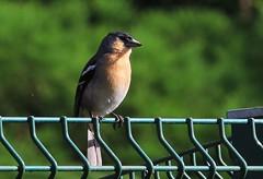 Azores - birds