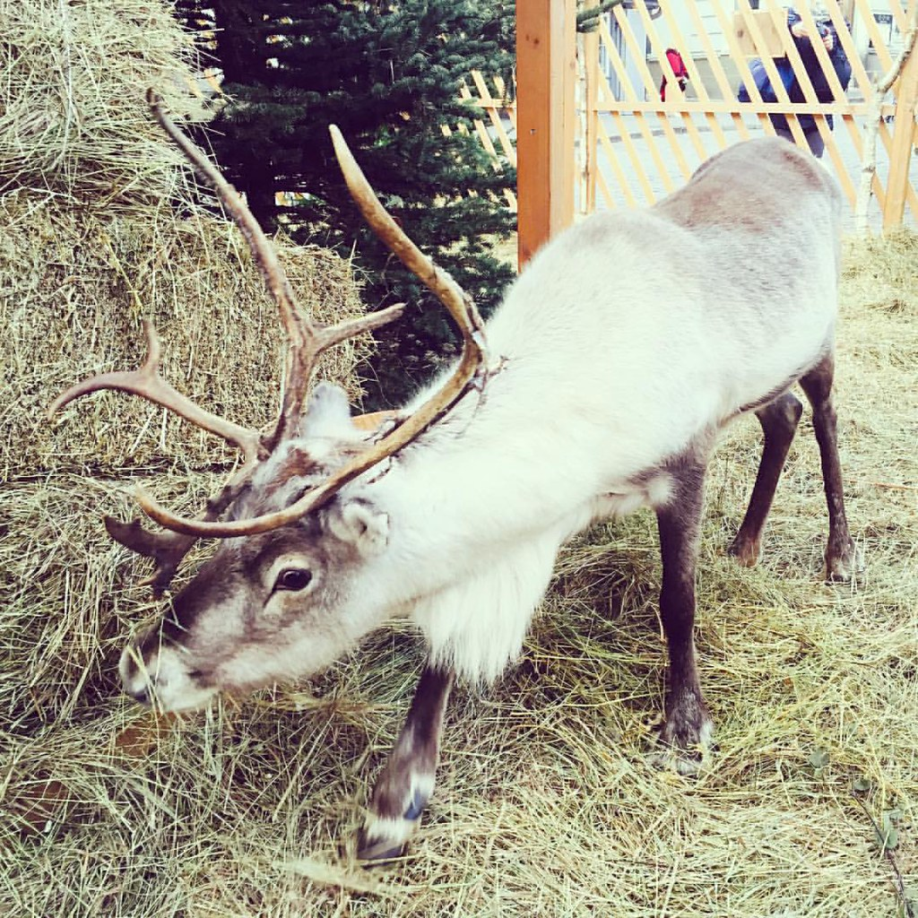 A quick stop at the Christmas market between the Tallinn Legends museum and the spa, and look who we saw! It's Rudy! #tallinn #tallinna #oldtown #christmasmarket #visittallinn #rudolftherednosereindeer #reindeer #pariskunnanmatkablogi #hemmotteluviikonlop