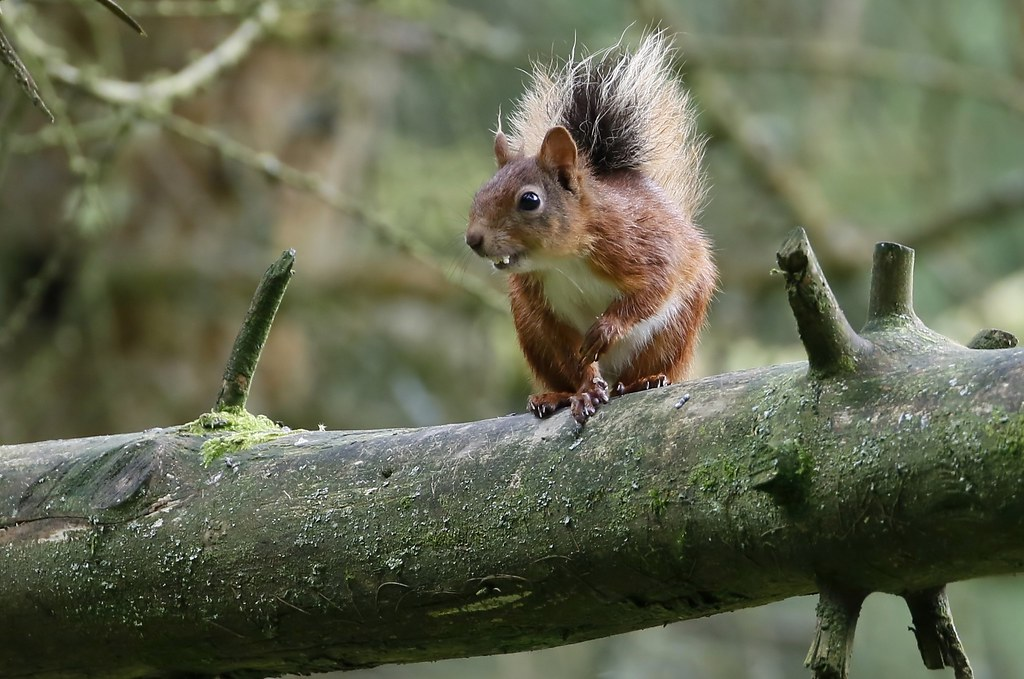 'Vampire' Red Squirrel