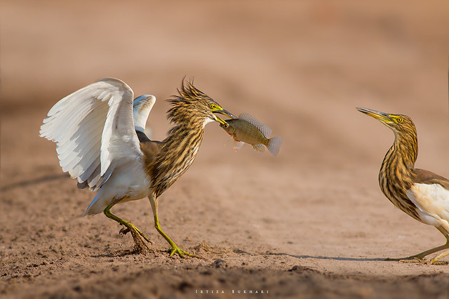 Indian Pond heron with catch