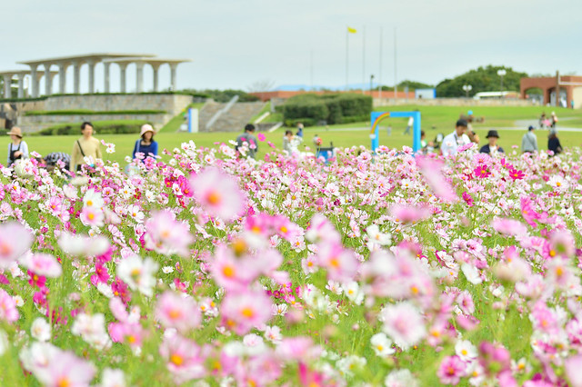 コスモス 秋桜 Cosmos field
