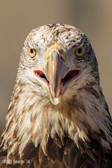 Conowingo Bald Eagle Day '16