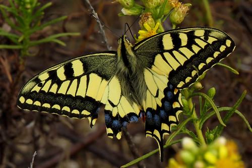 Swallowtail Papilio machaon Barão São joão September 2015