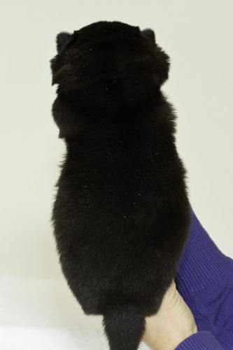 Nori-Litter3-Day17-Pup1(female)b