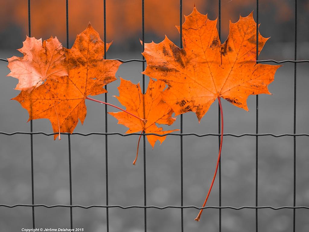 Les feuilles qui ne veulent pas mourir 21837678524_4faef64e95_b