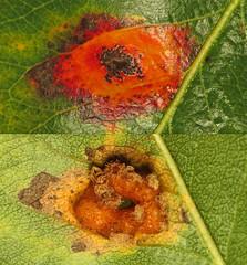 Pear Rust (Gymnosporangium sabinae)
